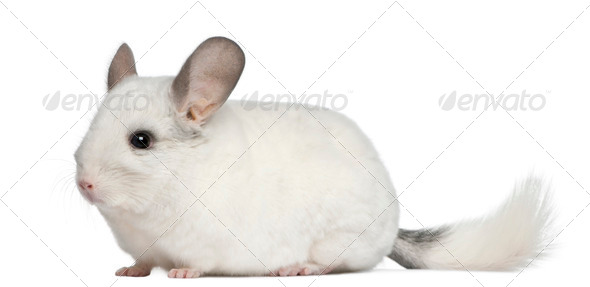 Wilson Chinchilla, 12 months old, in front of white background - Stock Photo - Images