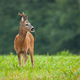 Roe deer male standing on meadow in summer nature - PhotoDune Item for Sale