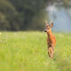 Roe deer buck approaching on meadow in summertime nature - PhotoDune Item for Sale