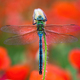 Southern migrant hawker sitting on red poppy flower - PhotoDune Item for Sale