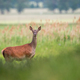Red deer female standing on meadow in summer nature - PhotoDune Item for Sale