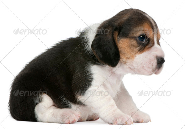 Beagle Puppy, 1 month old, sitting in front of white background - Stock Photo - Images