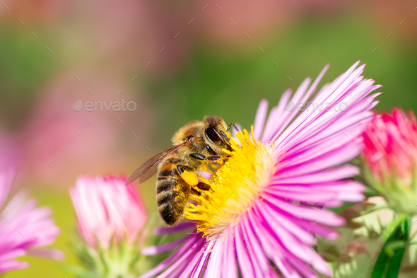 Bee Collecting Nectar on a Aster Flower - Stock Photo - Images