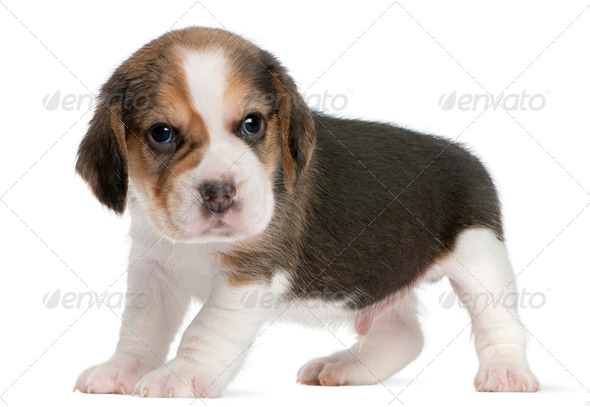 Beagle Puppy, 1 month old, standing in front of white background - Stock Photo - Images