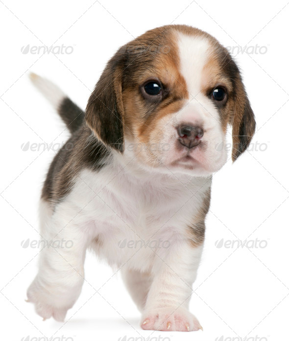 Beagle Puppy, 1 month old, walking in front of white background - Stock Photo - Images