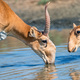 Saiga antelope or Saiga tatarica drinks in steppe - PhotoDune Item for Sale