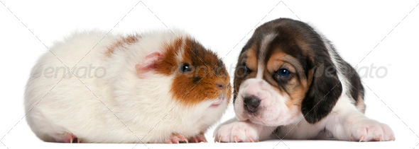 Beagle Puppy, 1 month old, and Teddy guinea pig, 9 months old, in front of white background - Stock Photo - Images