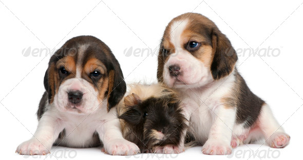 Two Beagle Puppies, 1 month old, and Peruvian guinea pig, 6 months old, in front of white background - Stock Photo - Images