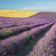 Meadow of lavender and wheet at day. - PhotoDune Item for Sale