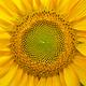 Sunflower patten background texture. - PhotoDune Item for Sale
