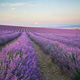 Meadow of lavender at morning light. - PhotoDune Item for Sale