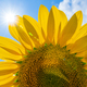Close up sunflower with blue sky. Sun light through the leaves of flower. - PhotoDune Item for Sale