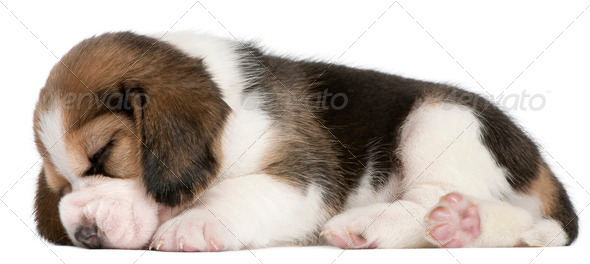 Beagle Puppy, 1 month old, lying in front of white background - Stock Photo - Images