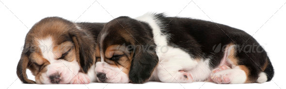 Two Beagle Puppies, 1 month old, lying in front of white background - Stock Photo - Images