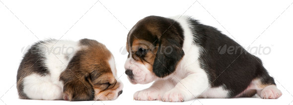 Two Beagle Puppies, 1 month old, in front of white background - Stock Photo - Images