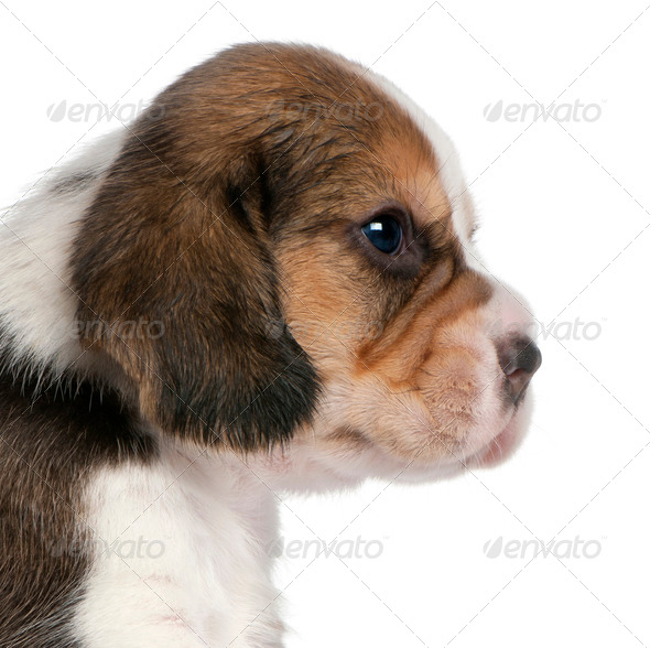 Close-up of Beagle Puppy, 1 month old, in front of white background - Stock Photo - Images