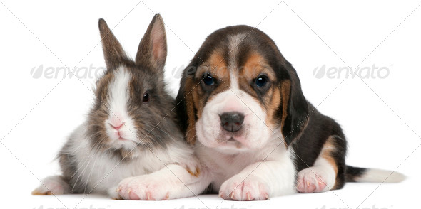 Beagle Puppy, 1 month old, and a rabbit in front of white background - Stock Photo - Images