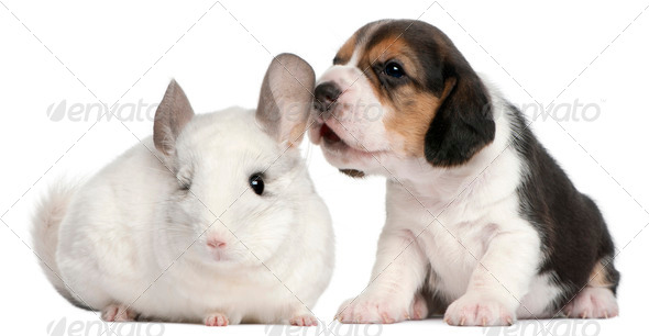 Beagle Puppy, 1 month old, and a Wilson Chinchilla, 12 months old, in front of white background - Stock Photo - Images