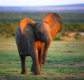 Baby Elephant approaching - PhotoDune Item for Sale
