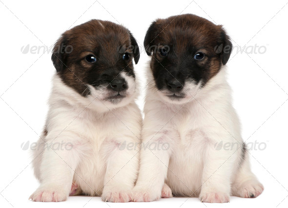 Two Fox Terrier puppies, 1 month old, sitting in front of white background - Stock Photo - Images