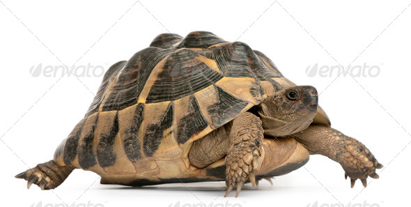 Hermann's tortoise, Testudo hermanni, walking in front of white background - Stock Photo - Images