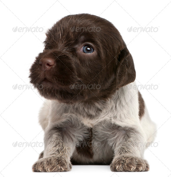Wirehaired Pointing Griffon puppy, 1 month old, in front of white background - Stock Photo - Images