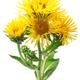Elecampane (Inula helenium) flowering plant,  isolated - PhotoDune Item for Sale
