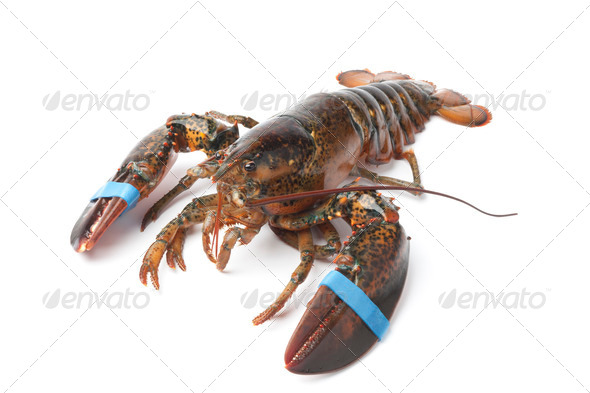 Fresh living lobster - Stock Photo - Images