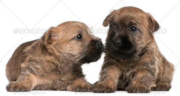 Two Cairn Terrier Puppies, 6 weeks old, in front of white background - Stock Photo - Images