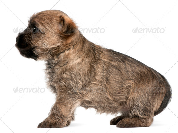 Cairn Terrier Puppy, 6 weeks old, in front of white background - Stock Photo - Images