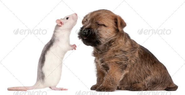 Cairn Terrier Puppy, 6 weeks old, and a rat in front of white background - Stock Photo - Images