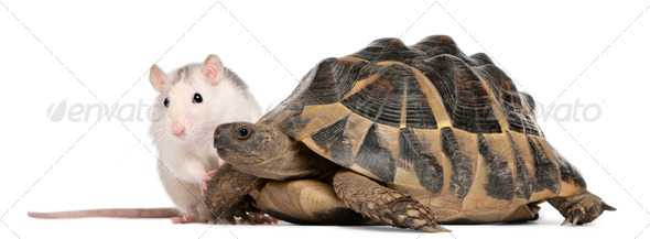 Rat and Hermann's tortoise, Testudo hermanni, in front of white background - Stock Photo - Images