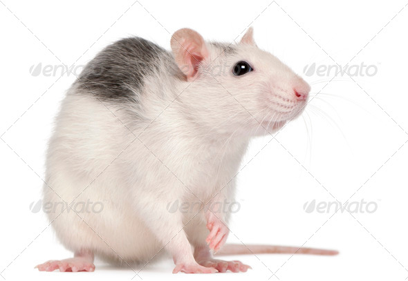 Husky rat, 12 months old, in front of white background - Stock Photo - Images