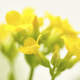 Yellow Kalancoe Flower Cluster - PhotoDune Item for Sale