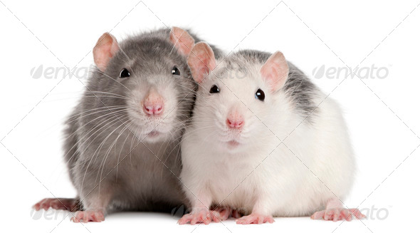 Two rats, 12 months old, in front of white background - Stock Photo - Images