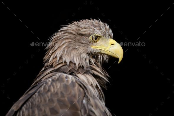 White-tailed eagle portrait on black background - Stock Photo - Images