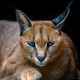 Caracal lynx over black background - PhotoDune Item for Sale