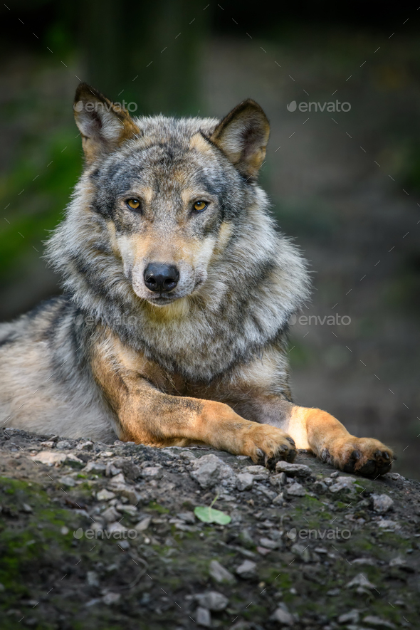 Gray wolf, Canis lupus, in the summer light, in the forest - Stock Photo - Images