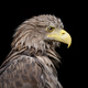 White-tailed eagle portrait on black background - PhotoDune Item for Sale
