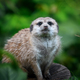 Meerkat standing looking for something. Suricata suricatta wild predators in natural environment. - PhotoDune Item for Sale