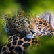 Leopard, wild animal in the natural habitat - PhotoDune Item for Sale