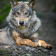 Gray wolf, Canis lupus, in the summer light, in the forest - PhotoDune Item for Sale