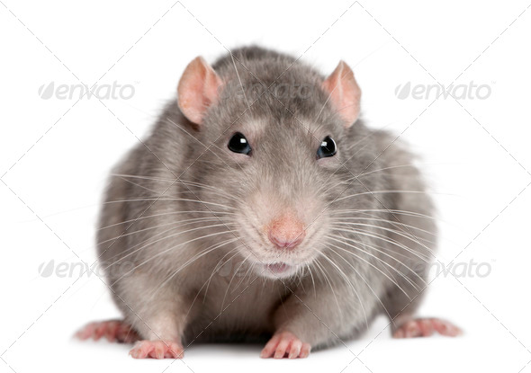 Blue rat in front of white background - Stock Photo - Images
