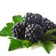 blackberries with leaves - PhotoDune Item for Sale