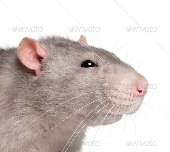Close-up of Blue rat in front of white background - Stock Photo - Images