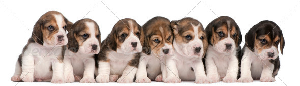 Group of Beagle puppies, 4 weeks old, sitting in a row in front of white background - Stock Photo - Images