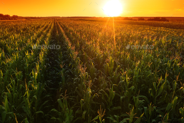 Beautiful corn field in sunset, drone footage aerial shot - Stock Photo - Images