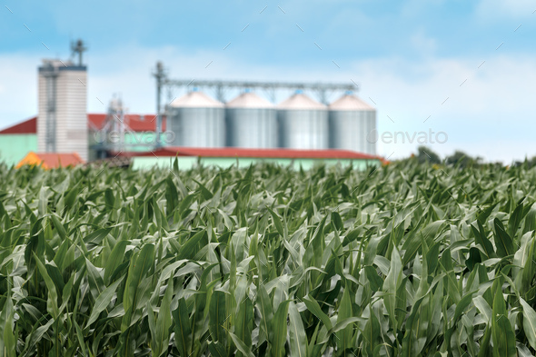 Cultivated corn maize field with grain storage silo in background - Stock Photo - Images