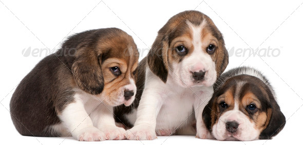 Group of Beagle puppies, 4 weeks old, in front of white background - Stock Photo - Images