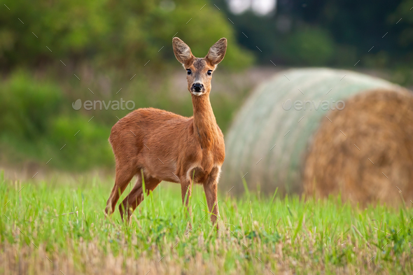 Roe deer doe standing on hay field in summer nature - Stock Photo - Images